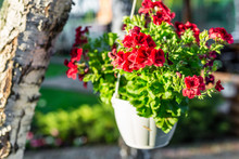 Close-up Of Hanging White Basket With Bright Red Petunia Flowers. Green Garden With Birch And Pots Of Vibrant  Blossoming Surfinia