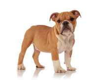 Side View Of Adorable English Bulldog Puppy Standing