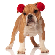 Cute English Bulldog With Red ...
