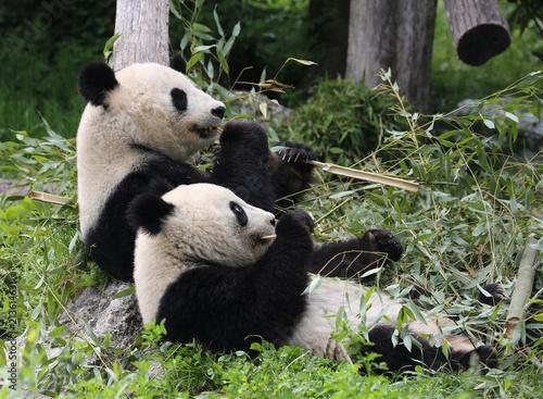 Zdjęcie XXL Miś Panda jedzenia i relaksu