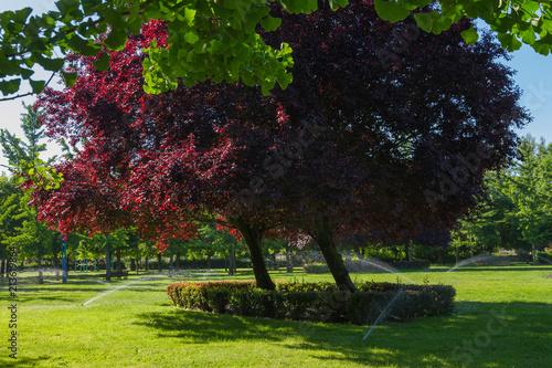 Riego por aspersion de la hierba verde de un parque con arboles  en primavera Wallpaper Mural