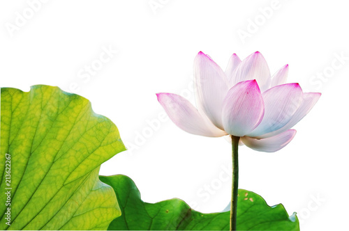 Acrylic Prints Lotus flower pink-white lotus isolated