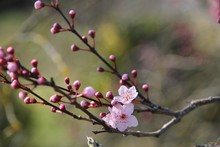 Fleurs De Prunus Au Printemps