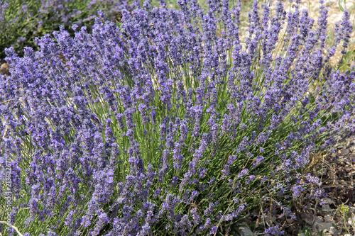Fotobehang Lavendel plant de lavandes