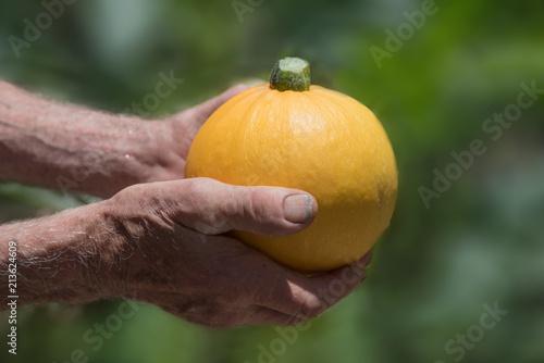 Alter Gärtner hält gelbe runde Zucchini in den Händen