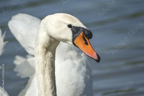 Deurstickers Zwaan Beautiful white swan water