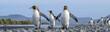 King Penguins, Salisbury Plain, South Georgia Island, Antarctic