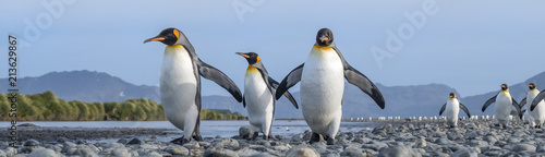 Pingouin King Penguins, Salisbury Plain, South Georgia Island, Antarctic