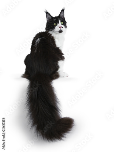 Gorgeous black and white young adult Maine Coon girl sitting backwards, looking over shoulder isolated on white background with huge tail hanging down over edge Wall mural