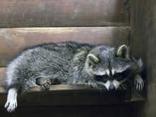 Funny Fluffy Raccoon Lying In A Wooden Cage At The Zoological Garden