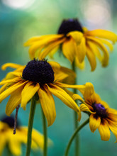 Yellow Flowers Rudbeckia  In T...