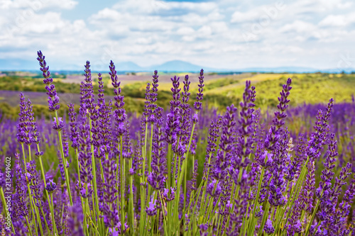The flowering of lavender in Provence. France. Focus concept.