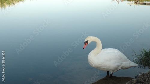 Spoed Fotobehang Zwaan Swan