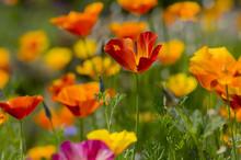 Eschscholzia Californica Cup Of Gold Flowers In Bloom, Californian Field, Ornamental Wild Plants On A Meadow