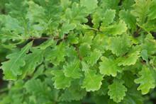 Water Drops On Oak Leaves Macro
