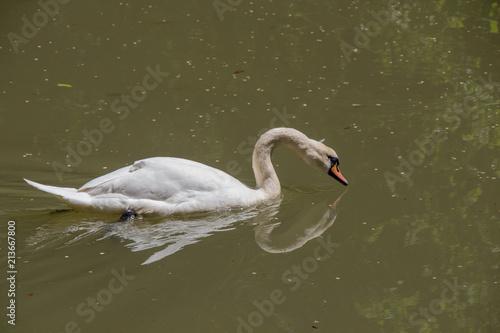 Deurstickers Zwaan Single swan lives in the pond