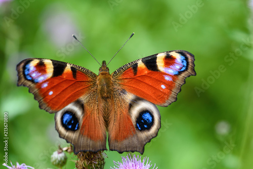 Paon butterfly peacock eye close-up