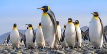 King Penguins, Salisbury Plain...