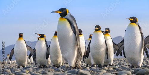 Spoed Fotobehang Pinguin King Penguins, Salisbury Plain, South Georgia Island, Antarctic