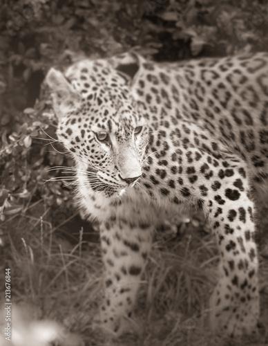 Foto auf Leinwand Leopard guépard seul au zoo en noir et blanc en été de face