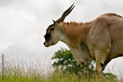 Poster Kangoeroe Side view of an eland (Taurotragus oryx) in a grassy meadow