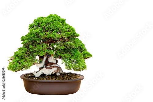Tuinposter Bonsai A small bonsai tree in a ceramic pot isolated on a white background.