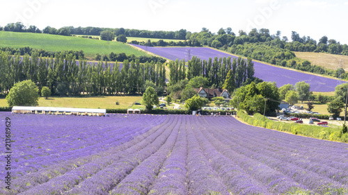 Tuinposter Purper English Lavender fields in Kent