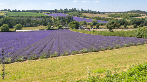 Tuinposter Lavendel English Lavender fields in Kent