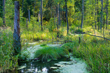Swampy Terrain In Bialowieza Woods, Poland