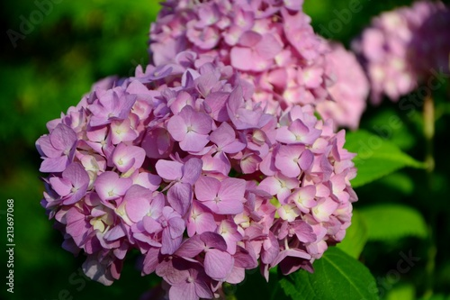 Keuken foto achterwand Hydrangea Hydrangea macrophylla Early Sensations in a summer garden closeup.