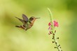 Hummingbird flying next to beautiful flower, Costa Rica. Wildlife scene from nature. Birdwatching in South America, Trinidad, Tobago.