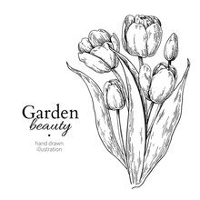 Tulip Flower And Leaves Bouquet Drawing Vector Hand Drawn Engraved Floral Illustration