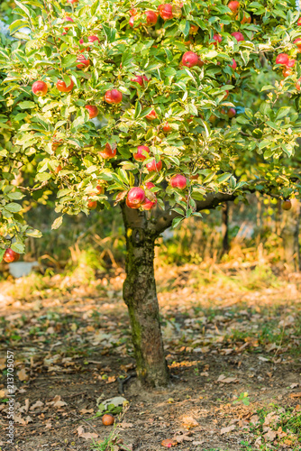 Apple tree in old apple orchard.
