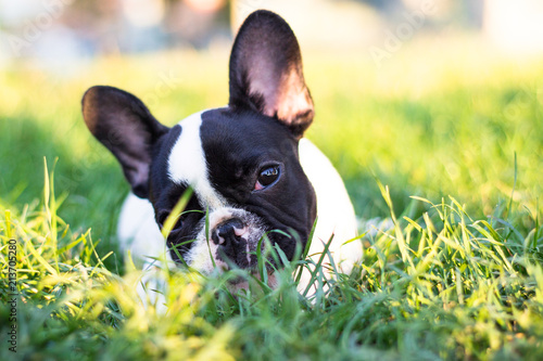 Fotobehang Franse bulldog Baby French Bulldog dog