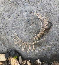 Natural Fossil Of Lyme Regis Beach