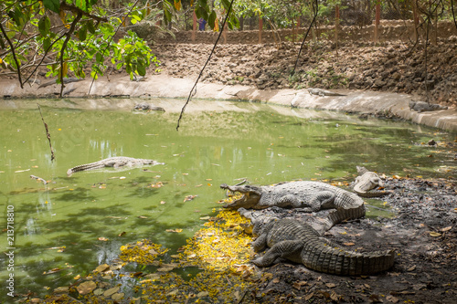 Crocodiles at Kachikally Crocodile Pool in Bakau