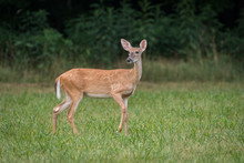 Whitetail Deer Doe