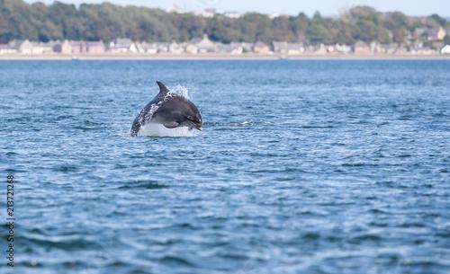 Tableau sur Toile Wild bottlenose dolphin tursiops truncatus