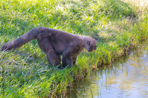 Tuinposter Aap Woolly Monkey on the river bank