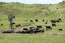 Cattle Ranching In The Midwest