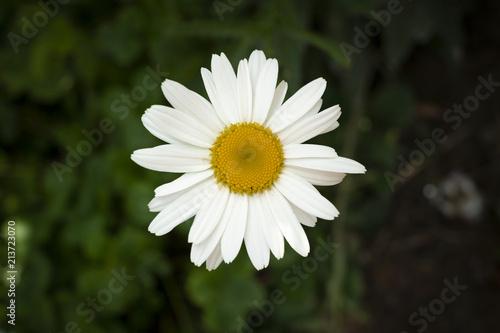 Foto op Canvas Madeliefjes daisy white flower