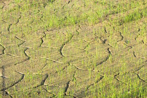 Rice seedlings and barren soils. Canvas
