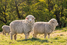 Flock Of New Zealand Merino Sh...
