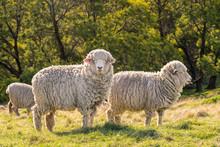 Flock Of New Zealand Merino Sh...