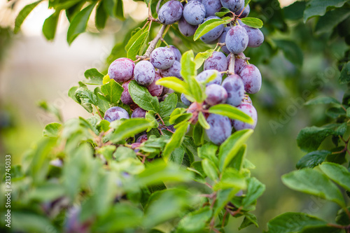 Fototapety, obrazy: Plum purple with green leaves growing