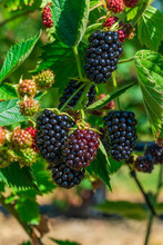 Blackberries Ripening On A Bush - Closeup With Selective Focus