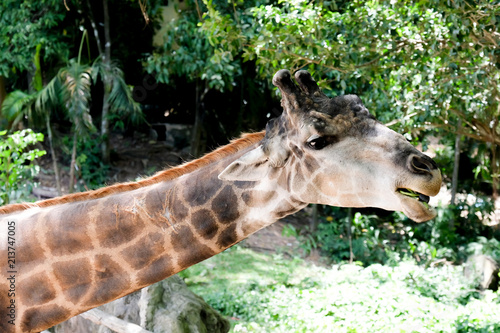 Poster Giraffe Cute giraffe head close up at the zoo.
