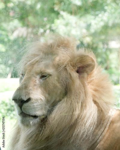 Foto op Plexiglas Leeuw Close up face of white lion in the zoo.