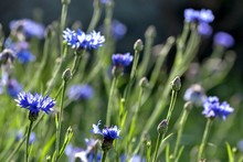 Blue Cornflowers Blossomed