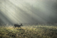 Wildlife Deer In The Fields Of Cades Cove In Great Smoky Mountains National Park With Sunrise Rays Shining Through Midst Of Fog